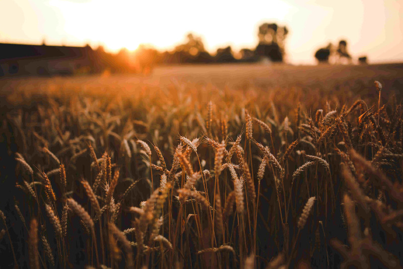 pole, łany zbóż, rolnictwo